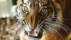 جاكرتا.. إصابة نمرين من نوع مهدد بالانقراض بكورونا